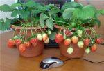 Можно ли клубнику вырастить дома – критерии выбора сорта, выращивание из семян, правила ухода летом, зимой, причины отсутствия плодоношения