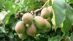 Уход за актинидией осенью подготовка к зиме – выращивание и уход весной, обрезка, чем подкормить и как размножить, опора для актинидии, видео