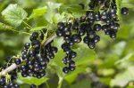 Подкормка смородины весной – Подкормка смородины весной, летом, осенью: минеральными удобрениями, народными средствами