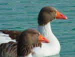 Дикие гуси сколько живут – Сколько живут гуси