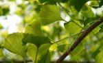 Гинкго билоба трава инструкция по применению – полезные, лечебные свойства и противопоказания, инструкция по применению, настойка, экстракт