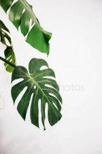 Монстера картинки – Картинки монстера листья обои, Стоковые Фотографии и Роялти-Фри Изображения монстера листья обои