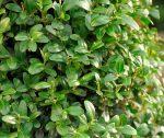 Пересадка самшита осенью на новое место – размножение черенками, фото посадки, уход в домашних условиях и выращивание из семян, обрезка кустарника, а также почему желтеют листья у растения?