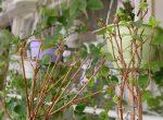 Почему фуксия сохнет – Фуксия — почему у растения желтеют, сохнут и опадают листья. Распространенные болезни с фото