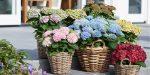 Удобрение для гортензии крупнолистной – Гортензия крупнолистная – морозостойкие и популярные разновидности, выращивание в домашних условиях
