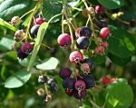 Чем подкормить иргу осенью – Ирга уход осенью подготовка к зиме