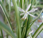 Чернеют листья хлорофитум – Почему у хлорофитума чернеют кончики листьев: причины и методы борьбы