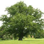 Дуб на участке – Стоит ли на своём участке в 20 соток, возле дома, посадить дуб?