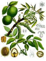 Грецкий орех семейство – Орех грецкий — Википедия