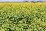 Как посадить горчицу белую – Посев белой горчицы весной на сидерат польза агротехника