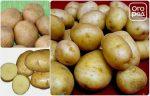 Картофель устойчивый к фитофторе – Сорта картофеля устойчивые к фитофторозу: описание и характеристики