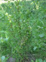 Крыжовник это кустарник или дерево – Крыжовник обыкновенный — Википедия