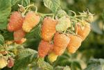Малина оранжевая – Ремонтантная малина Оранжевое Чудо, характеристика сорта