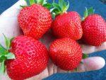 Медовая клубника – описание сорта, фото, отзывы садоводов