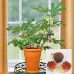Можно ли дома вырастить инжир – выращивание в домашних условиях комнатного плодоносящего растения из семян, черенками, видео