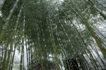 Растение похожее на бамбук на даче – Морозостойкий садовый бамбук виды, где купить
