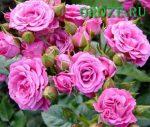 Роза лидия спрей – Спрей розы — особенности вида, описания сортов для выращивания в средней полосе