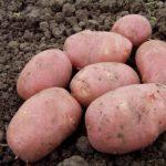 Сорт картофеля рокко характеристика – описание сорта, фото, посадка, выращивание, сбор и хранение урожая