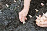 Удобрения при посадке чеснока под зиму – Какое удобрение вносить осенью под чеснок, правила подготовки и посадки на зиму