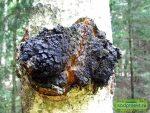 Чага березовый гриб фото полезные свойства и применение чаги – Березовый гриб чага: полезные свойства и применение.