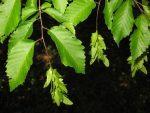 Черный граб – фото и описание дерева, факты и свойства