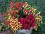 Фиттония цветет – уход в домашних условиях, размножение, цветение.