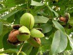 Грецкий орех фото дерево – фото дерева, как вырастить саженец из грецкого ореха в домашних условиях
