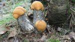 Грибы лесные съедобные – список с подробным описанием и фото