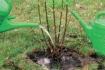 Когда лучше садить саженцы смородины – Когда сажать смородину — весной или осенью? Размножение смородины