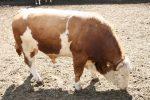Кормление быков – Откорм бычков: самый эффективный и быстрый