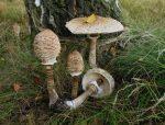 Ложный гриб зонтик – описание, разновидности, особенности, места произрастания, отличие от несъедобных видов, способы приготовления