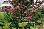 Многолетние кустарниковые цветы цветущие все лето фото и название – фото и названия зимостойких, солнцелюбивых и тенелюбивых кустов
