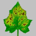 Оливковая пятнистость на огурцах – Болезни огурцов Бурая оливковая пятнистость (кладоспориоз)