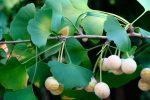 Растение гинкго билоба как выращивать – Гинкго билоба, посадка и уход. Выращивание Гинкго билоба: посадка, уход, фото. Гинкго билоба: описание растения, фото. Правила выращивания Гинкго билоба: посадка, уход в саду.