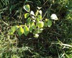 Размножение грецкого ореха зелеными черенками – Как размножается грецкий орех: микроклональное размножение, летняя окулировка