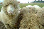 Сколько нужно корма на одну овцу – КАК КОРМИТЬ ОВЕЦ — Овцеводство — Животноводство