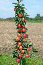 Валюта яблоня описание – характеристика, описание с фото, отзывы