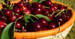 Ягоды вишни – Вишня — полезные свойства и противопоказания любимой ягоды ❦