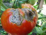 Черная гниль на помидорах – что делать и как бороться