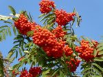 Красная рябина вред – полезные свойства и противопоказания сока, варенья и отвара