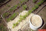 Опилки на огороде применение – Проверенные способы использования опилок на даче