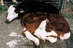 Сальмонеллез телят – симптомы, диагноз, течение и лечение, профилактика. | Ветеринарная служба Владимирской области