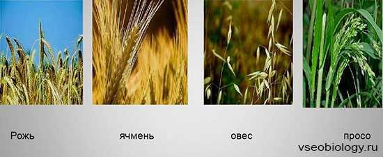 происхождение овса