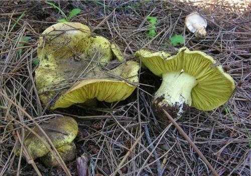 грибы зеленки и подзеленки рецепт приготовления